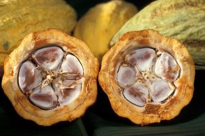 Cacao pods of the US department of Agriculture