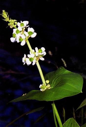 Sagittaria_latifolia